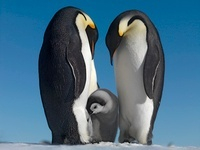 Emperor penguin couple with chick, October, Snow Hill Island