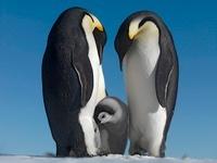 Emperor penguin couple with chick, October, Snow Hill Island 22206002983| 写真素材・ストックフォト・画像・イラスト素材|アマナイメージズ