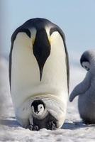 Emperor penguin and chick, October, Snow Hill Island, Weddel