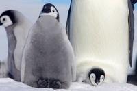 Emperor penguin and chick, October, Snow Hill Island, Weddel 22206002985| 写真素材・ストックフォト・画像・イラスト素材|アマナイメージズ