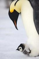 Emperor penguin and chick, October, Snow Hill Island, Weddel