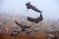 Common Cranes in early morning fog in spring, Hornborgasjoen