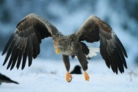 White-tailed eagle in winter,  co Tr?ndelag, Norway