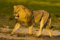 African lion running, Etosha National Park, Namibia