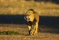 African lion roaring, Kgalagadi Transfrontier Park, South Af