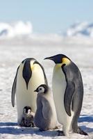 Emperor penguins and chicks, October, Snow Hill Island, Wedd 22206003016| 写真素材・ストックフォト・画像・イラスト素材|アマナイメージズ