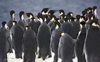 Emperor penguins gathering at ice edge before jumping into s 22206003019| 写真素材・ストックフォト・画像・イラスト素材|アマナイメージズ