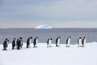 Emperor penguins gathering at ice edge before jumping into s