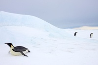 Emperor penguin toboganning on sea ice near colony, Snow Hil