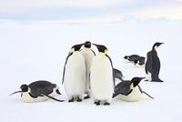 Emperor penguin group, October, Snow Hill Island, Weddell Se