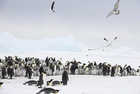 Emperor penguin colony with gulls, October, Snow Hill Island