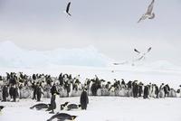 Emperor penguin colony with gulls, October, Snow Hill Island 22206003023| 写真素材・ストックフォト・画像・イラスト素材|アマナイメージズ