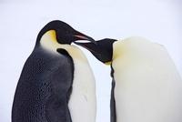 Emperor penguin couple, October, Snow Hill Island, Weddell S 22206003024| 写真素材・ストックフォト・画像・イラスト素材|アマナイメージズ