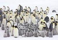 Emperor penguin colony in a snow storm, October, Snow Hill I