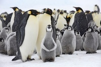Emperor penguin colony with chicks, October, Snow Hill Islan