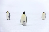 Emperor penguins with chick, October, Snow Hill Island, Wedd 22206003028| 写真素材・ストックフォト・画像・イラスト素材|アマナイメージズ