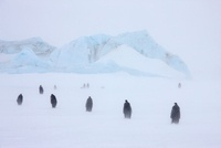 Emperor penguins in a blizzard, October, Snow Hill Island, W