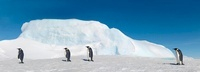 Emperor penguins walking on sea ice, October, Snow Hill Isla