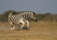 Burchell's zebradisplaying, Etosha National Park, Namibia.