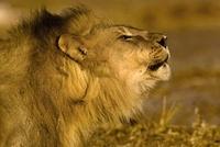 Roaring African lion portrait, Etosha National Park, Namibia