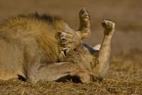 Two African lions playing, Etosha National Park, Namibia