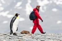 King Penguin with tourists on the beach at Salisbury Plain,
