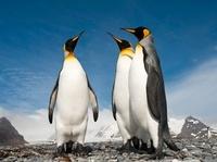 King Penguins on the beach at Salisbury Plain, South Georgia