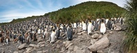 King Penguin breeding colony, Salisbury Plain, South Georgia 22206003093| 写真素材・ストックフォト・画像・イラスト素材|アマナイメージズ