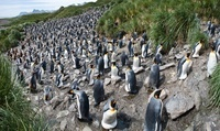 King Penguin breeding colony, Salisbury Plain, South Georgia 22206003094| 写真素材・ストックフォト・画像・イラスト素材|アマナイメージズ