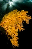Yellow sea fan, Raja Ampat, Indonesia