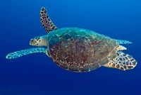 Green turtle in motion, Red Sea, Sudan