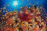 Lyretail Anthias in coral reef scene, Egypt