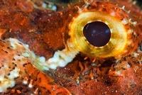 Smallscale Scorpionfish, eye detail, Red Sea, Sudan