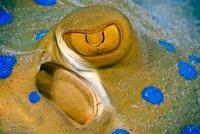 Bluespotted stingray, eye detail, Red Sea, Egypt