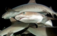 Group of White tip reef sharks, Cocos island, Costa Rica 22206003167| 写真素材・ストックフォト・画像・イラスト素材|アマナイメージズ