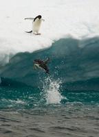 Adelie Penguin diving off ice floe, Paulet Island, Antarctic 22206003238| 写真素材・ストックフォト・画像・イラスト素材|アマナイメージズ