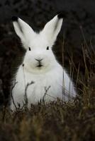 Arctic Hare, Denali National Parl, Alaska 22206003255| 写真素材・ストックフォト・画像・イラスト素材|アマナイメージズ