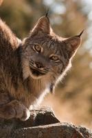 Canadian Lynx, Wyoming, USA
