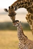 Giraffe mother grooming baby, Masai Mara, Kenya, Africa