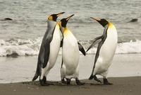King Penguins, on beach, Falkland Islands