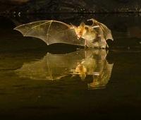 Pallid Bat swooping over a small pond, Southern Arizona, USA