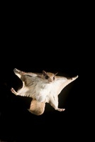 Southern Flying squirrel gliding at night