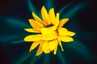 Honey Bee on sunflower, Texas