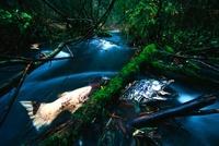 Dead Silver Salmon in stream, Columbia River, Oregon