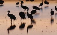 Sandhill cranes Bosque del Apache, New Mexico, USA