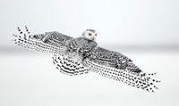 Snowy Owl flying, Ottawa, Canada