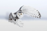 Snowy Owl in flight, Ottawa, Canada