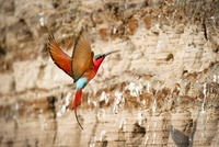 Southern Carmine Bee-eaters returning to nest holes. Banks o