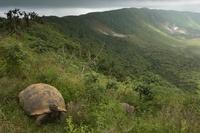 Galapagos Giant Tortoise on rim of Alcedo Volcano, Isabela I