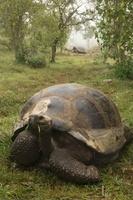 Galapagos Giant Tortoise, Alcedo Volcano crater floor, Isabe